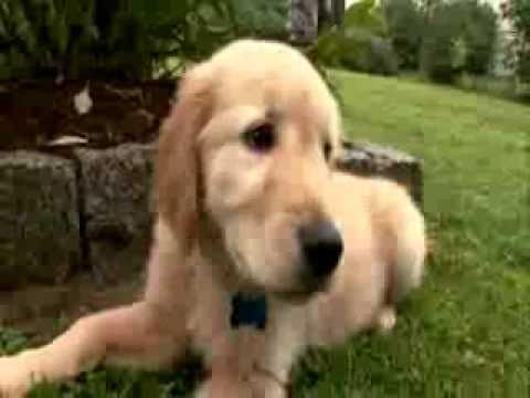 「狗狗入門班:黃金獵犬」- Dogs 101: Golden Retriever