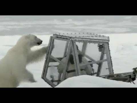 「野生動物攝影師的北極熊歷險記」- Wildlife film-maker's close call with a polar bear