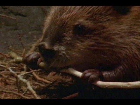 「大自然建築師──天才小海狸」- Beaver Genius