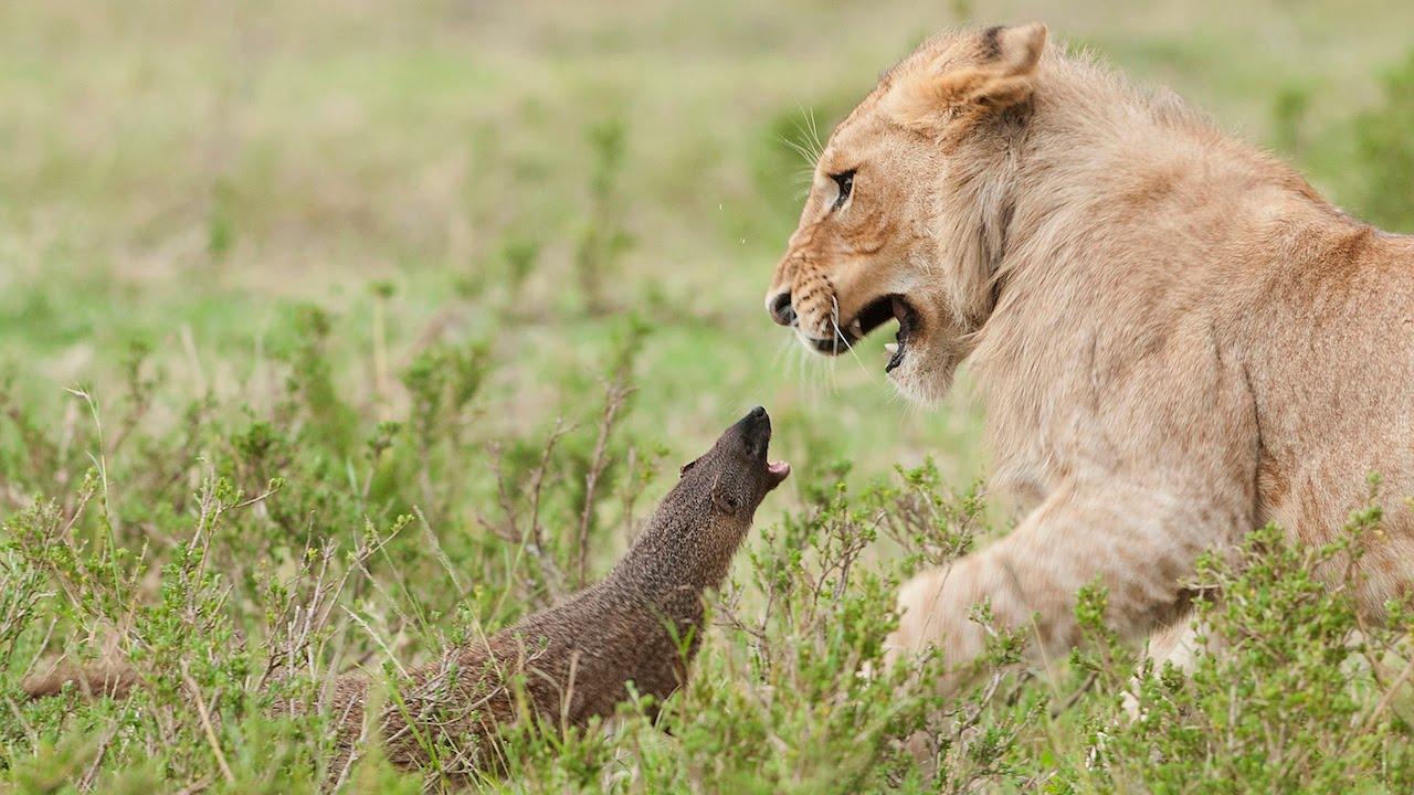 「瘋狂小貓鼬大戰獅子王」- Lion vs. Mongoose