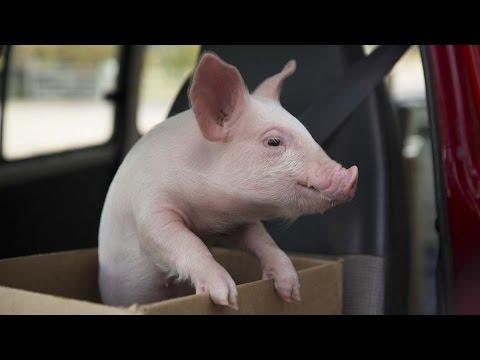 「溫馨電信廣告--小豬蘇蘇」- Piggy Sue