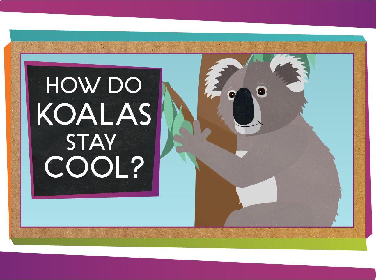 「好熱啊!毛茸茸的無尾熊怎麼『涼涼』過日子?」- How Do Koalas Stay Cool?
