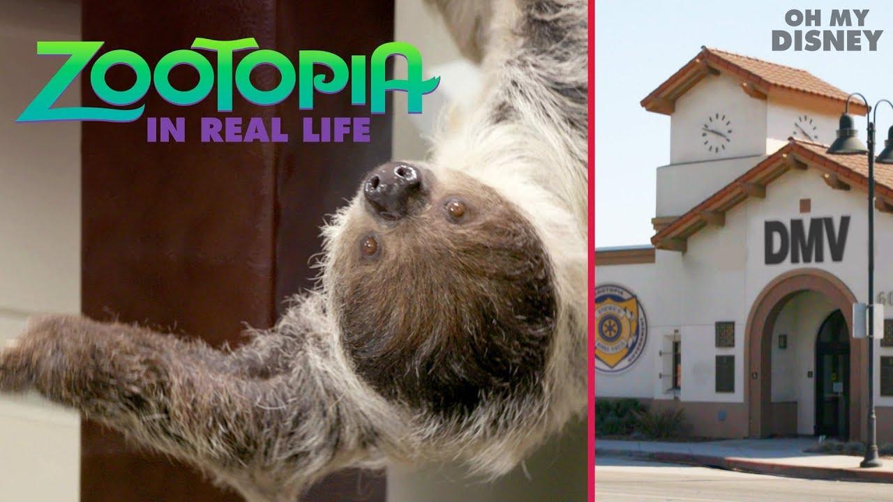 「你沒看錯!《動物方城市》的樹懶公務員真的跑到現實世界啦!」- Zootopia IRL