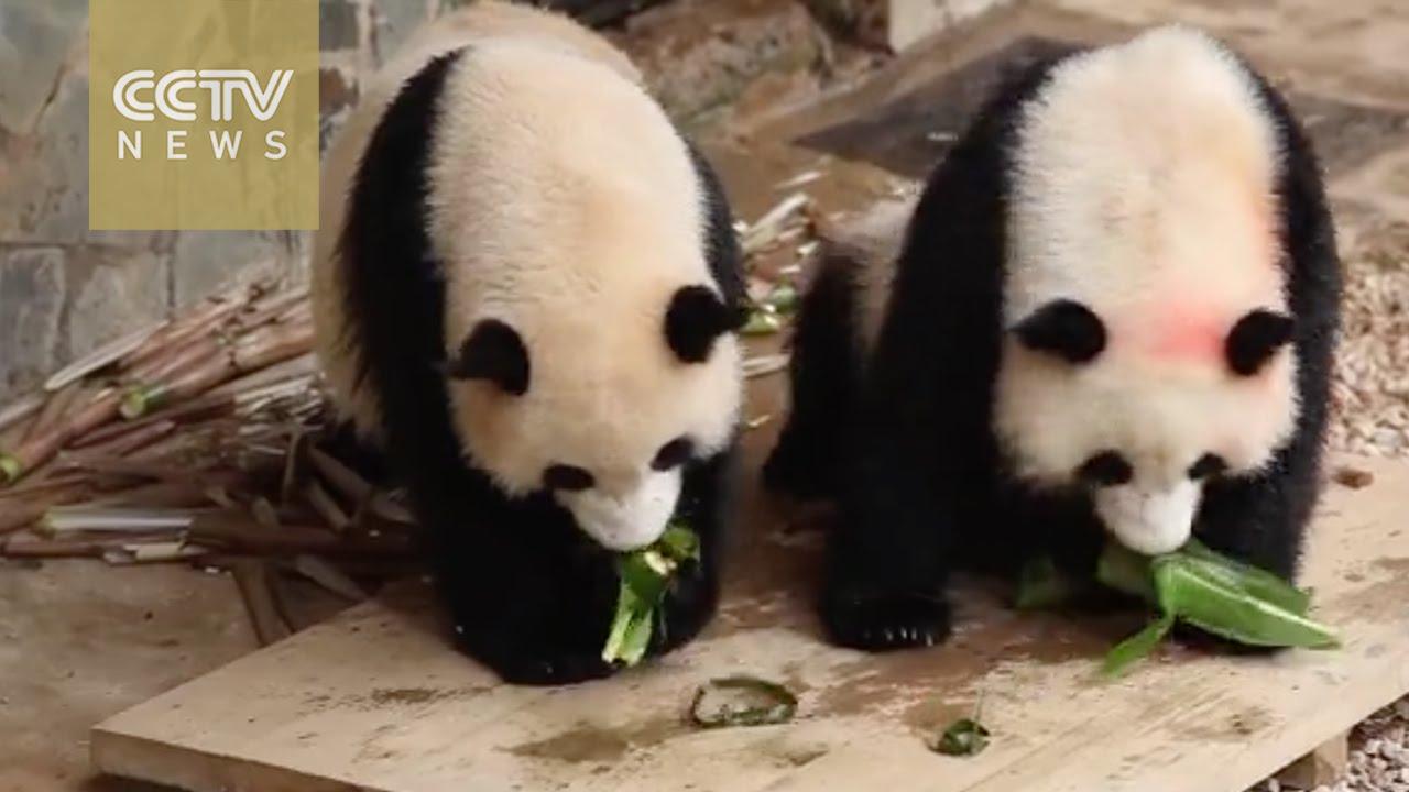 "「軟萌熊貓吃粽子慶端午!」- Pandas Get a Taste of ""Zongzi"" on Chinese Dragon Boat Festival"